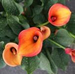 Blumen Guscha (19)